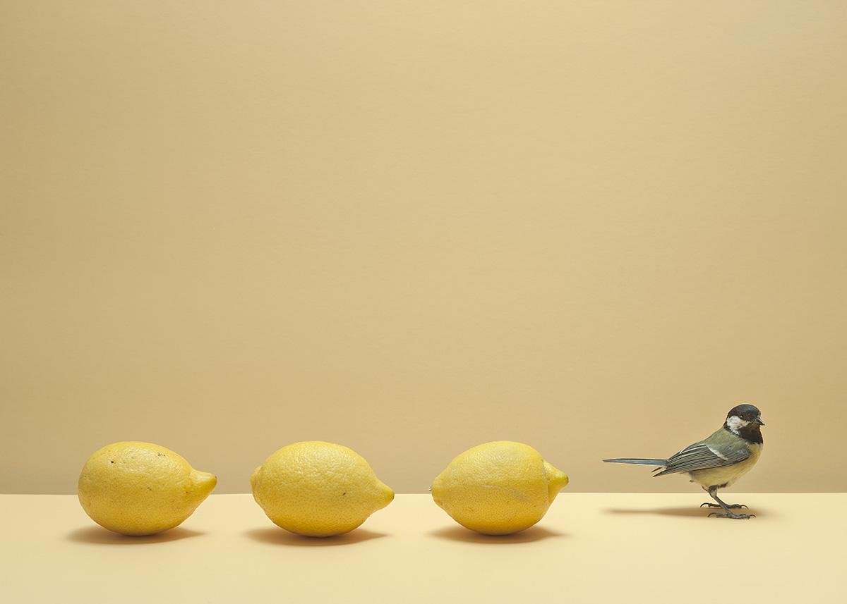 koolmees in rij met drie citroenen